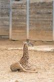 Masai behandla som ett barn giraffet Royaltyfri Fotografi