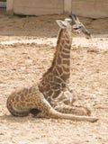Masai behandla som ett barn giraffet Royaltyfri Foto