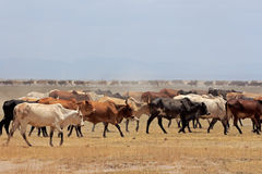 Masai cattle Royalty Free Stock Photo