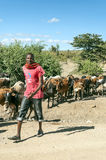 Masai cattle Stock Images