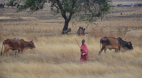 Masai children with cattle Stock Photo