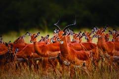 Masai d'antilopes de Fv Mara - Kenya Photographie stock