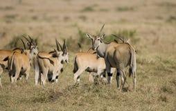 masai de mara de troupeau d'eland Photographie stock