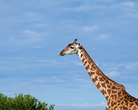 Masai Giraffe Royalty Free Stock Photography