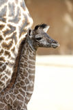 Masai Giraffe Stock Photography