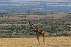Masai Giraffe Stock Images