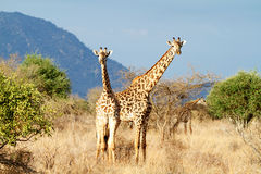 The Masai Giraffe Royalty Free Stock Photography