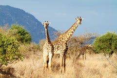 The Masai Giraffe. Or Maasai Giraffe, also known as the Kilimanjaro Giraffe in Kenya Royalty Free Stock Photography