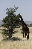 Masai Giraffe Royalty Free Stock Photography