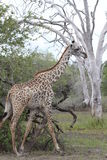 Masai Giraffe Royalty Free Stock Photo