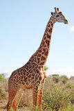 Masai giraffe. Wild giraffe with sky on background royalty free stock image