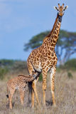 Masai Giraffe Baby Suckling Stock Photos