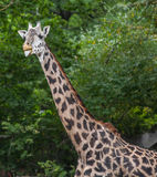 Masai Giraffe Royalty Free Stock Photos