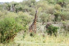 A Masai Giraffe in the bushes Royalty Free Stock Images