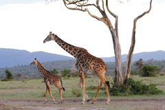 A Masai Giraffe with calf during dusk Stock Photo