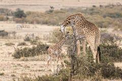 Masai Giraffe with calf Stock Photography