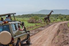 Masai giraffe crosses dirt track past jeep stock photos