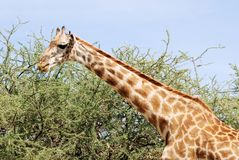 Masai Giraffe eating of an acacia tree Royalty Free Stock Photo