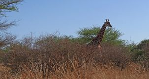 Masai Giraffe, giraffa camelopardalis tippelskirchi, Adult walking through Bush, Tsavo Park in Kenya, real Time. 4K stock video