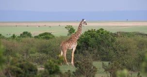 Masai-Giraffe, Giraffa camelopardalis tippelskirchi, Erwachsener, der in der Savanne, Masai Mara Park steht, in Kenia, stock footage