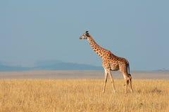 Masai giraffe Stock Photos