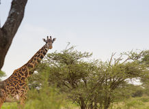 Masai Giraffe Grazing on a Flat Top Acacia. A Masai Giraffe is grazing on a flat-top acacia in the Serengeti Royalty Free Stock Photo