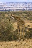 Masai Giraffe grazing Royalty Free Stock Photography