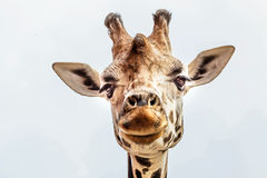 Masai giraffe head Royalty Free Stock Image
