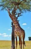 Masai Giraffe in Kenya Stock Image