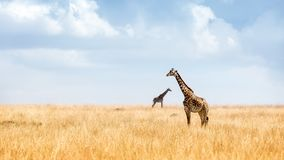 Masai Giraffe in Kenya Plains. Two Masai Giraffe in the tall grasslands of Kenya, Africa with big open blue sky Royalty Free Stock Image