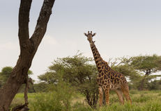 Masai Giraffe. A lone Masai Giraffe in the Serengeti Stock Photo