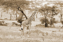 The Masai Giraffe Stock Image