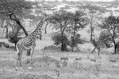 The Masai Giraffe Stock Photos