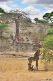The Masai Giraffe Stock Photography