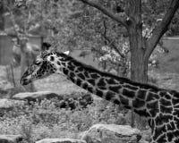 Masai Giraffe. Near a tree Royalty Free Stock Photo