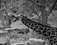 Masai Giraffe. Near a tree Royalty Free Stock Image