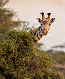 Giraffe looks at camera Stock Image