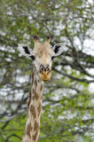 Masai giraffe portait Royalty Free Stock Images