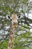 Masai giraffe portait. Masai giraffe, Giraffa camelopardalis tippelskirchi. Selous Game Reserve, Tanzania, Africa. The Selous was designated a UNESCO World Royalty Free Stock Images