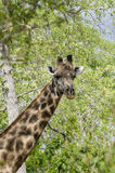 Masai giraffe portait Royalty Free Stock Photos
