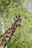 Masai giraffe portait. Masai giraffe, Giraffa camelopardalis tippelskirchi. Selous Game Reserve, Tanzania, Africa. The Selous was designated a UNESCO World Royalty Free Stock Photos