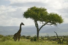 Masai Giraffe stands under acacia tree in Lewa Wildlife Conservancy, North Kenya, Africa Royalty Free Stock Images