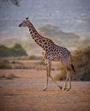 Masai Giraffe in Tanzania Royalty Free Stock Photos