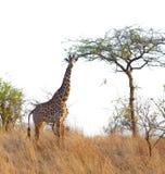 Masai-Giraffe in Tarangire stockbilder