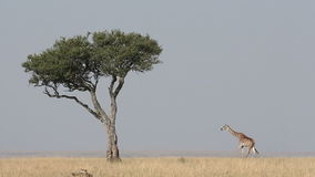 Masai giraffe and tree stock video