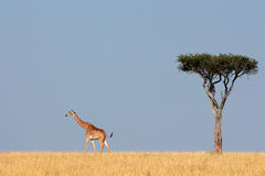 Masai giraffe and tree Stock Images