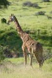 Masai Giraffe walks in Lewa Wildlife Conservancy, North Kenya, Africa Royalty Free Stock Photography