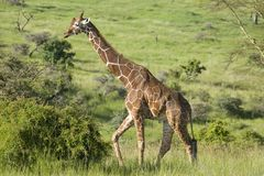 Masai Giraffe walks in Lewa Wildlife Conservancy, North Kenya, Africa Royalty Free Stock Image