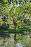 Masai giraffe at watering hole Stock Images