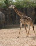Masai Giraffe in zoo. Adult Masai giraffe standing in sun in Houston, Texas zoo royalty free stock photo